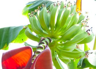 banana shrub