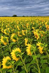 Sonnenblumen und dunkle Wolken bei Gewitter