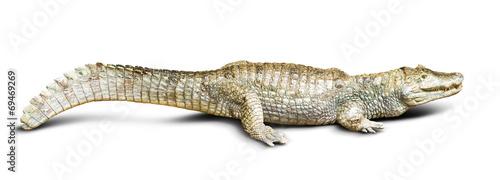 Papiers peints Crocodile spectacled caiman