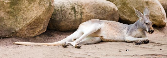 Red kangaroo  lying on ground