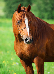 portrait of chestnut beautiful horse