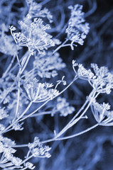 Frozen umbrella flowers background