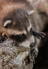 Baby Raccoon (Procyon lotor) Close Up