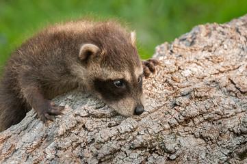 Baby Raccoon (Procyon lotor) Climbs Up Log