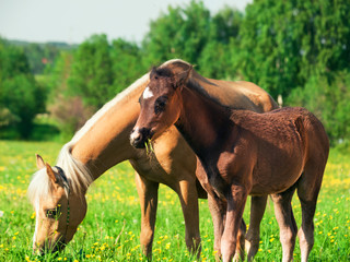 little  foal of welsh pony with mom