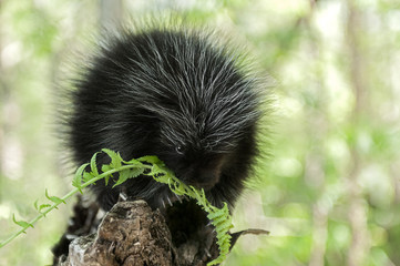 Baby Porcupine (Erethizon dorsatum) Chews on Fern