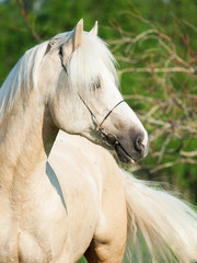 Beautiful palomino welsh pony