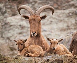 Barbary sheep mother with twin lambs
