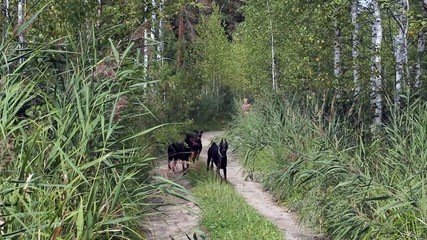dogs running fast on the forest road