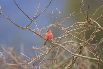 Pallas's Rosefinch (Carpodacus roseus) in Japan