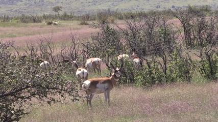 Pronghorn Antelope Herd in Rut