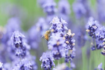 ラベンダー 蜜蜂 ラベンダー畑 富良野