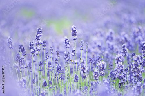 Fotobehang Lavendel ラベンダー ラベンダー畑 富良野