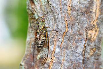 Japanese tsuk-tsuk cicada (Meimuna opalifera) in Japan