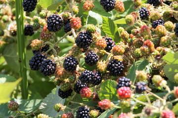 Wild Blackberries in the Pacific Northwest