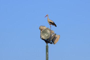 Stork on the lanterns at morning