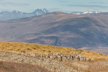 flock of sheep marching across arid slopes