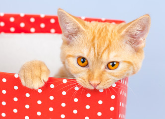 Cute kitten sitting in gift box and gnawing it