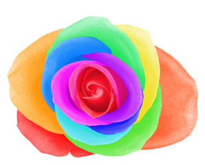 Colorful rose, isolated on white