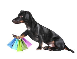 Black dachshund dog with shopping bags isolated on white