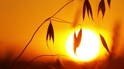 Silhouette of oats on a sunset background