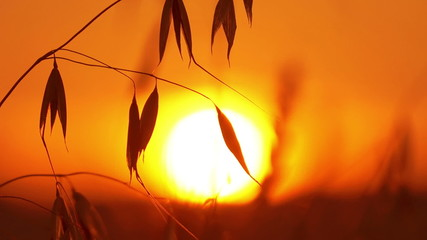 Silhouette of oats on a sunset backgroundOats