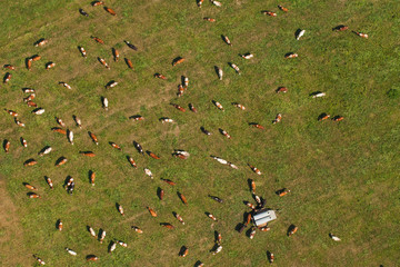 Aerial view on herd of cows, Poland.