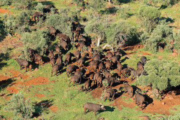 Aerial view of a herd of African buffaloes