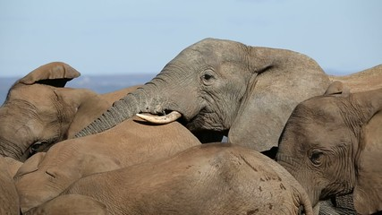African elephant bull interacting with member of herd