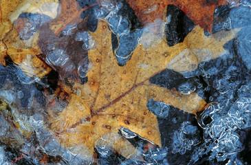 Autumn leaves frozen oak
