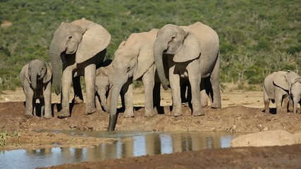 Family group of African elephants drinking water