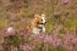 Collie springt in Heide