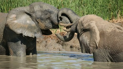 Two African elephants playing in a waterhole