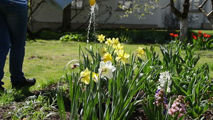 water pouring from watering can onto blooming narcissus flower