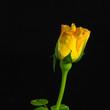 canvas print picture - Fiore giallo
