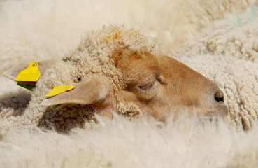 Head of sheep in the herd