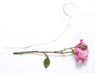 horizontal hand drawing and image of roses