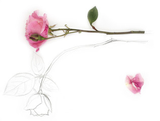 image and hand drawing of rose with petal on white