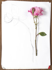 vertical hand drawing and image of roses