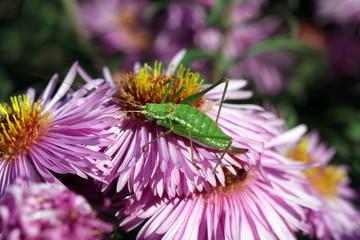 Grüne Heuschrecke auf pinker Blüte