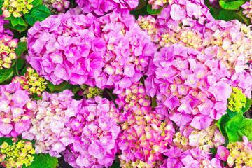 Pink hydrangea flowers heads close-up.