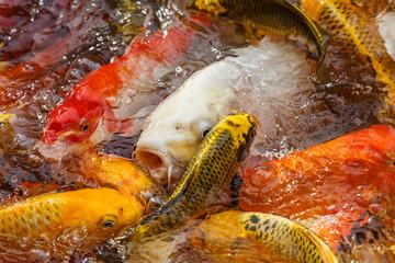 carp fish in the pool close-up