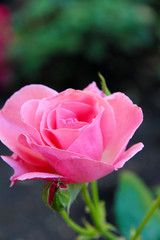Beautiful pink rose on bright background