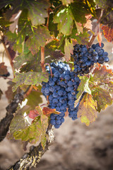 uvas negras en la cepa