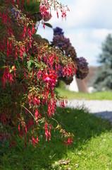 Arbuste de Fuchsia