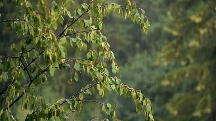 Birch branches in the summer rain.