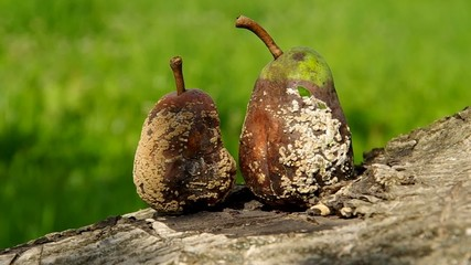 Two rotten and moldy pears