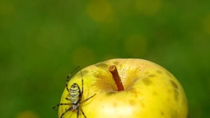 Spider Argiope bruennichi and apple.