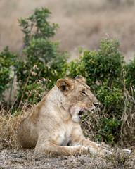 Yawning Lioness