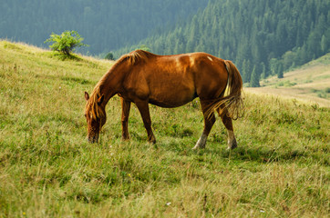 Bay horse grazes in the mountains